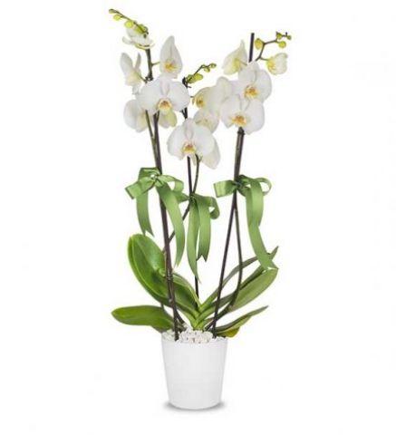 3 Köklü Orkide