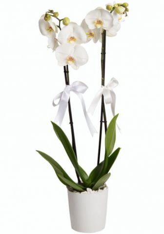 2 Köklü Orkide