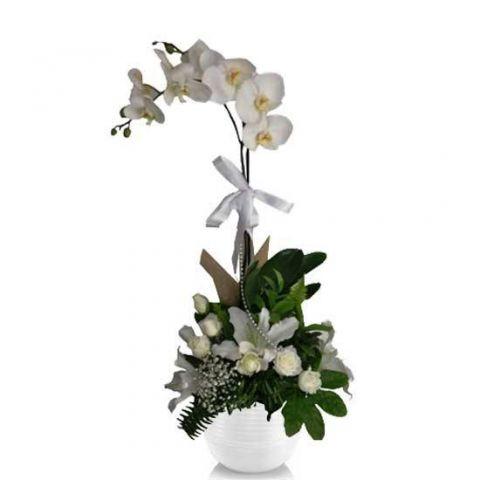 Beyaz Güllü Orkide